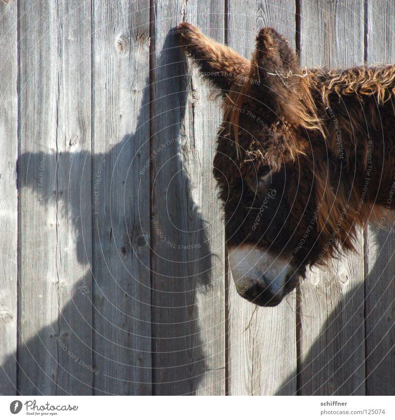 Osterhasenesel reloaded Fressen verschlafen Schattenspiel Holzwand Säugetier Bart Fell niedlich süß Geselle im nächsten Leben Hase Ohren sind schon da Müdigkeit