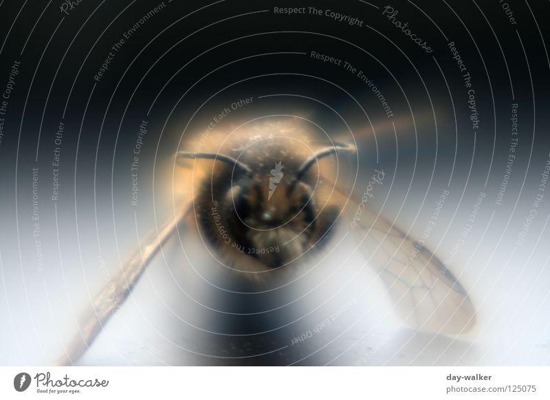 Biene im Rampenlicht II Insekt stechen Pollen Honig Staubfäden Fühler Reflexion & Spiegelung Schatten Makroaufnahme Nahaufnahme Nektar Haare & Frisuren Flügel