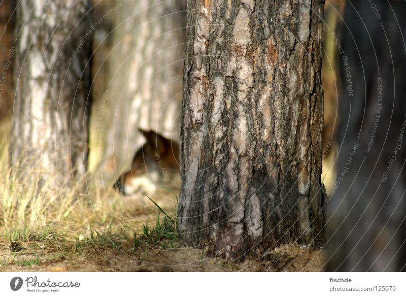auf der lauer Natur Baum Tier Wald Kopf Tiergesicht beobachten Wildtier Jagd Baumstamm Säugetier Märchen Schnauze Baumrinde Wolf Waldboden
