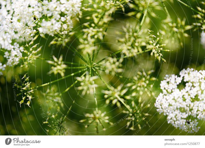 Gierschblüten Doldenblütler Pflanze Kräuter & Gewürze habitat Natur natürlich Stengel Blume Blüte Blühend Samen reif Heilpflanzen Alternativmedizin Medikament
