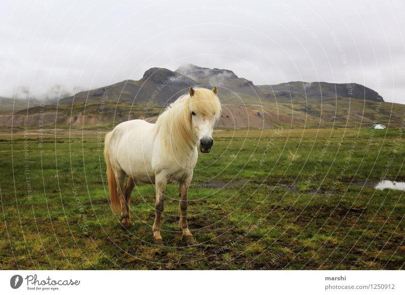Islandpferd Natur Landschaft Pflanze Tier Hügel Berge u. Gebirge Wildtier Pferd 1 Stimmung Island Ponys Ferne weiß stehen Reiten Reitsport schön Farbfoto