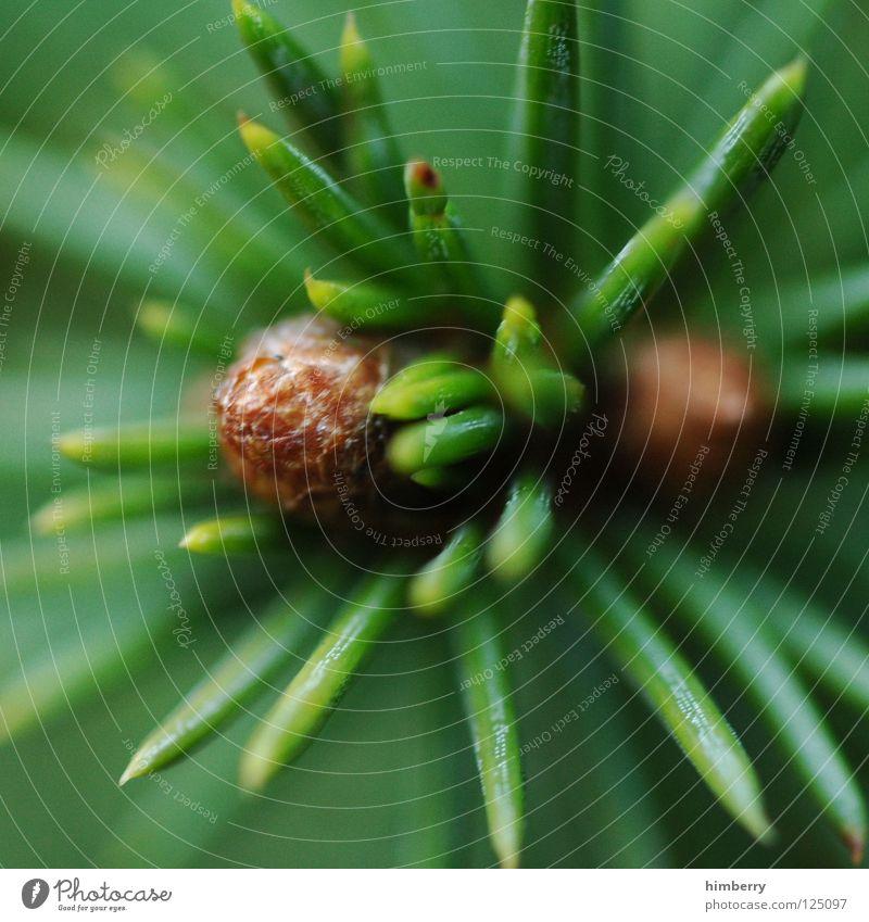 zapfenstreich Natur grün Baum Umwelt Frühling Luft Park Wildtier Wachstum Tanne Umweltschutz Forstwirtschaft Nadelbaum Sauerstoff Tannennadel Tannenzapfen