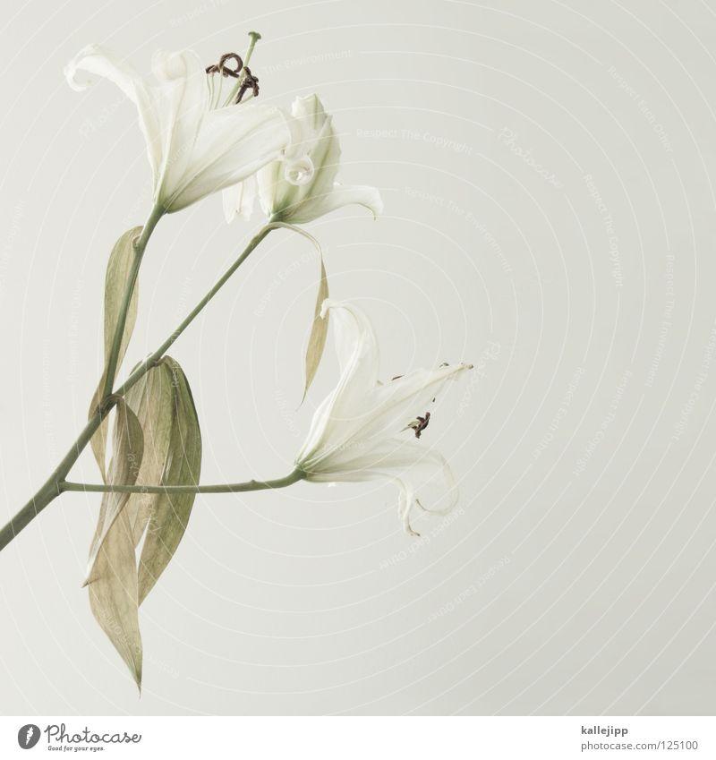 blümchensex weiß schön Pflanze Blume Tod Wachstum Macht Lebewesen Stengel schäbig Duft Geruch vertikal Stempel Lilien verschönern