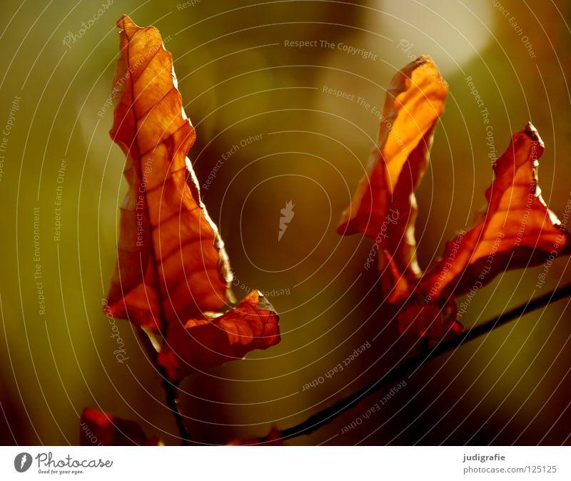 Licht Blatt Herbst Winter Baum Umwelt Pflanze Buche festhalten Erkenntnis Farbe Zweig Natur Sonne Lampe