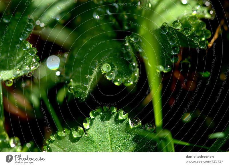 Tautropfen 2 Wassertropfen Klarheit frisch Sauberkeit rein Blatt grün glänzend Licht Morgen Gras durchsichtig Hintergrundbild Wiese Makroaufnahme Nahaufnahme
