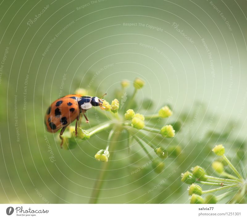Lecker Natur Pflanze Tier Sommer Blüte Käfer Marienkäfer 1 Blühend Duft Fressen krabbeln klein natürlich niedlich Zufriedenheit Glück Wellness Insekt Gegenlicht