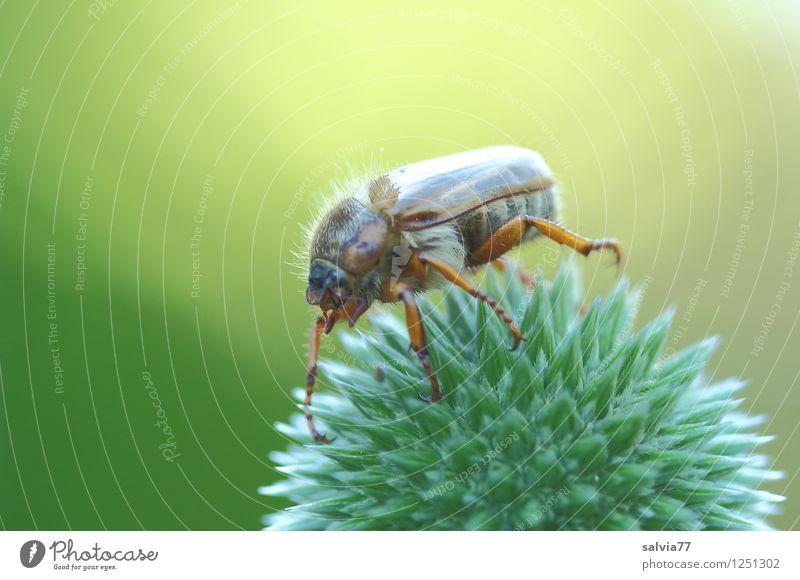 Brummer im Rampenlicht Umwelt Natur Pflanze Tier Sommer Blume Wildpflanze Distel Blütenknospen Kugeldistel Garten Käfer Insekt Junikäfer 1 berühren Blühend
