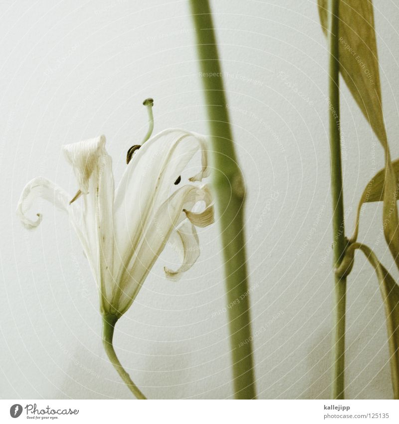 nachspiel Pflanze schön weiß Blume Tod Wachstum Macht Lebewesen Stengel Duft Geruch schäbig vertikal Stempel Pollen Wurzel