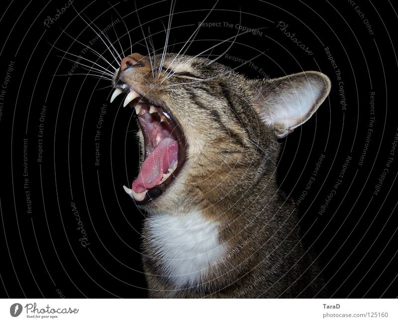 anstrengender Tag Tier Katze Hauskatze gähnen Landraubtier