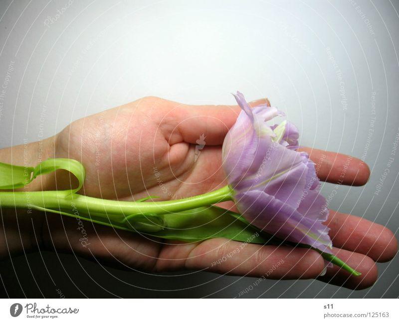 Tulpenlied Blume Blüte violett grün Blütenblatt Pflanze zart fein leicht Hand Finger schenken Geschenk ausgefranst schlafen wiegen Frühling Frühlingsblume schön