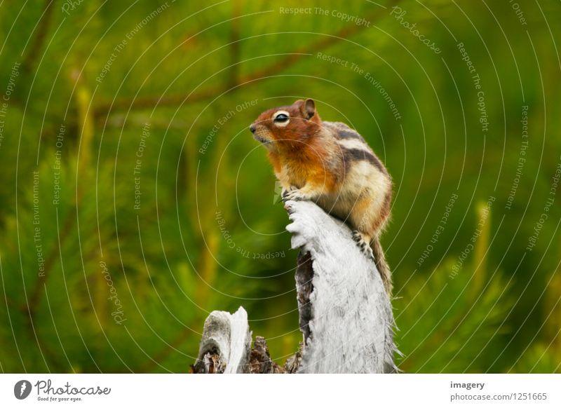 Wildlife :-) Natur Tier Sommer Baum Wald Wildtier Erdeichhörnchen 1 beobachten Fröhlichkeit Gesundheit schön klein niedlich Wachsamkeit ruhig Tourismus