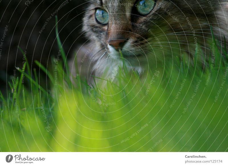 Laya. Natur schön grün Sommer Freude Tier Wiese Katze hell Geschwindigkeit Säugetier