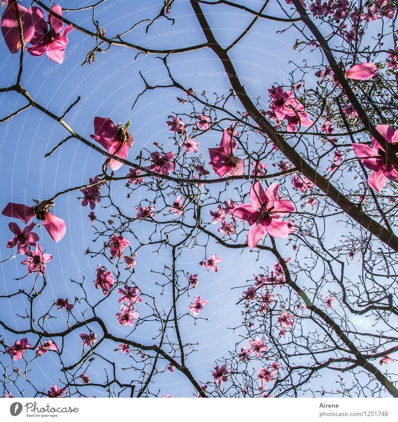 rosa Wölkchen Himmel blau Pflanze Baum Blume schwarz Blüte glänzend Magnolienbaum Magnolienblüte nur Himmel
