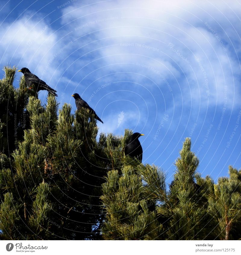 Pyrrhocorax graculus Himmel Baum blau Wolken Berge u. Gebirge Holz Freundschaft Vogel 3 mehrere Kiefer Schwarm Nadelbaum Dolomiten Holzmehl Dohle