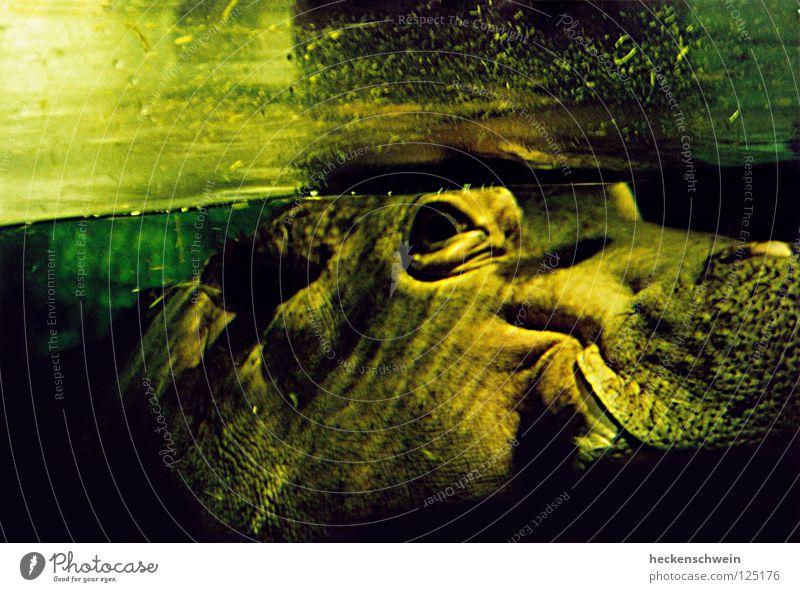 Der große Verführer Wasser grün ruhig Tier Auge lachen Denken Nase Schwimmen & Baden Fröhlichkeit Ohr Frieden Afrika Zoo dick