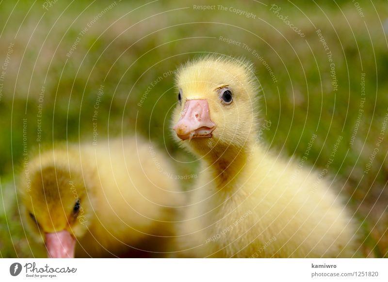 Gelbe Gans auf dem Rasen. Baby Freundschaft Menschengruppe Natur Tier Gras Wiese Pelzmantel Haustier Vogel klein lustig natürlich niedlich gelb grün Hausgans