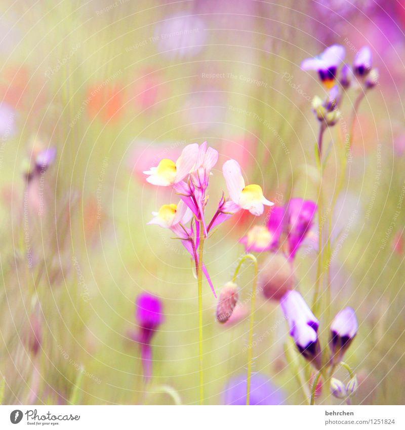 lila traum Natur Pflanze Frühling Sommer Schönes Wetter Blume Gras Blatt Blüte Wildpflanze Garten Park Wiese Blühend Duft verblüht Wachstum schön klein grün