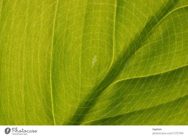viele Wege führen nach... grün Blatt Pflanze Saft Photosynthese Makroaufnahme Nahaufnahme Eisenbahn Saftbahn Durchlicht