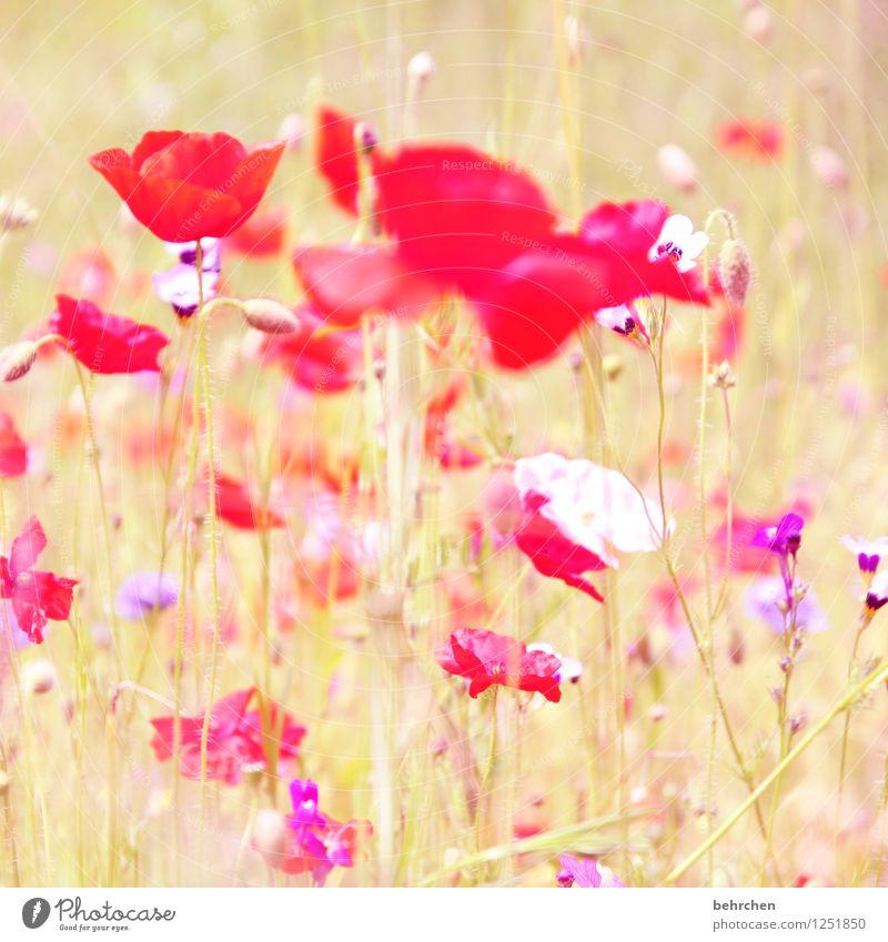 o Natur Pflanze Sonne Frühling Sommer Herbst Blume Gras Blatt Blüte Wildpflanze Mohn Garten Park Wiese Feld Blühend Wachstum schön Kitsch violett rosa rot