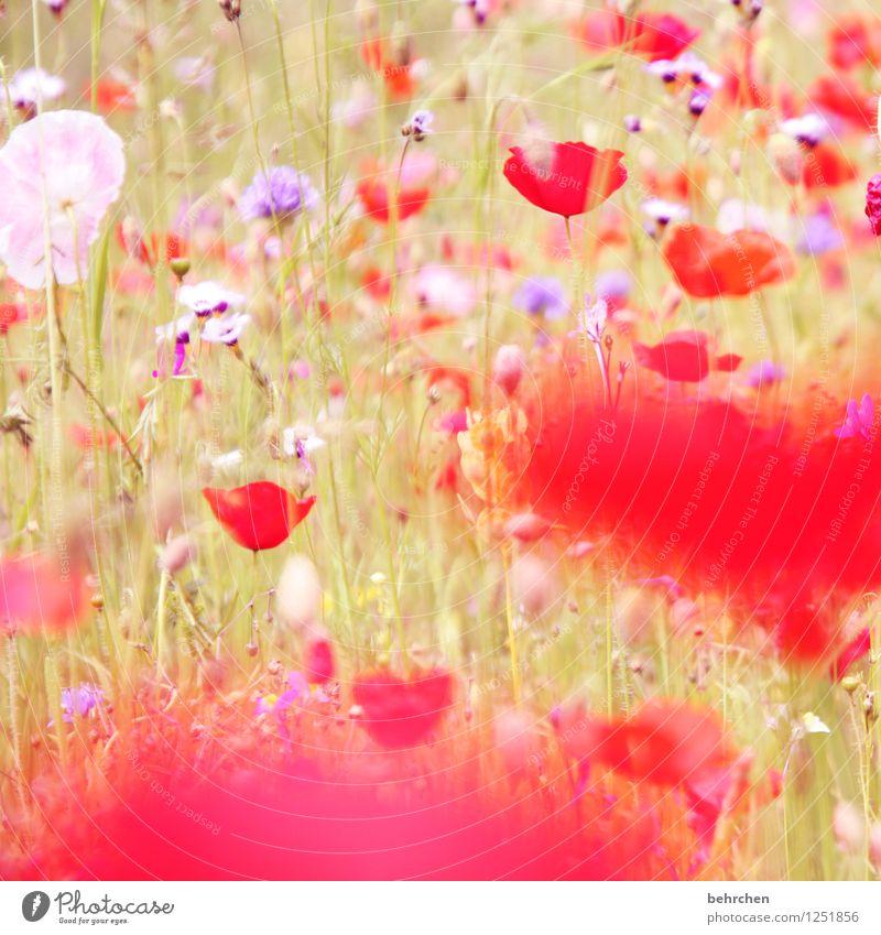 poppyday Natur Pflanze Frühling Sommer Schönes Wetter Blume Gras Blatt Blüte Wildpflanze Mohn Garten Park Wiese Feld Blühend verblüht Wachstum Duft schön
