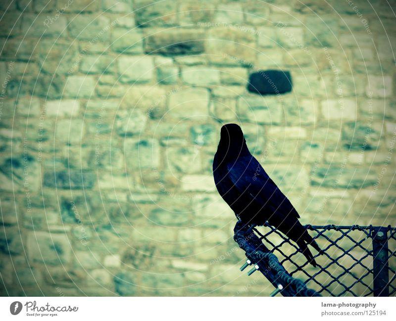 Watching the black brick Mauer Vogelperspektive überwachen Schutz Wächter Rabenvögel Krähe Kolkrabe Dohle Saatkrähe Weisheit Märchen Vignettierung Zaun