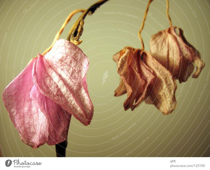 Verblüht Orchidee Blume Blüte verschrumpelt hängen violett rosa vergangen Trauer trist 3 Pflanze Vergänglichkeit Verzweiflung Phalaenopsis lahm alt Stengel