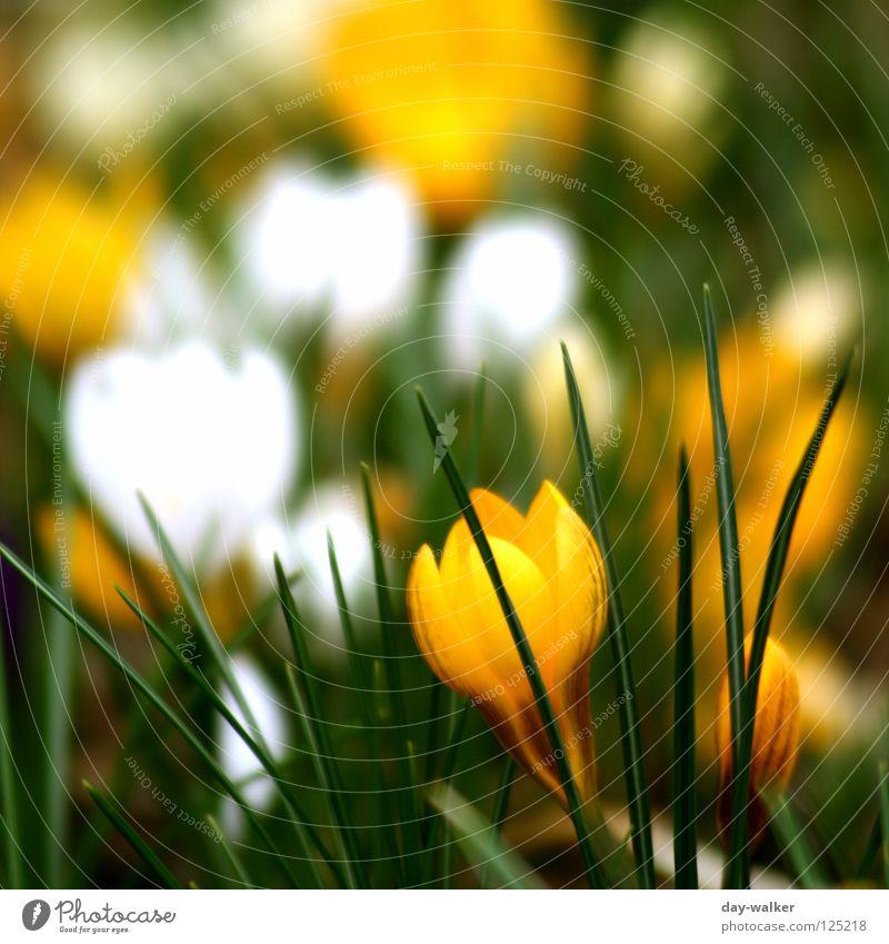 Auferstehung Blume Krokusse Blüte Beet Pflanze gelb grün Frühling aufwachen Tiefenschärfe Blumenbeet Natur Blütenknospen Kontrast