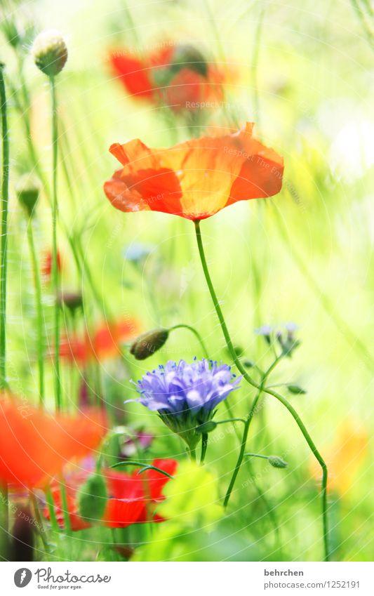 mö(h)ntag ist schöntag;) Natur Pflanze grün Sommer Blume rot Blatt Blüte Frühling Wiese Gras Garten Park Wachstum Blühend