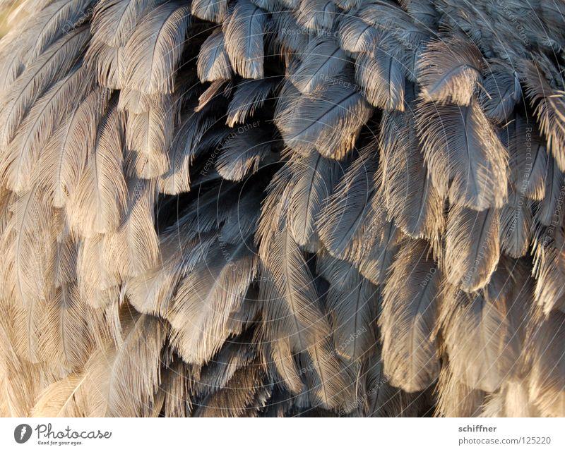 Nanduu aufgeplustert Vogel Laufvogel Tier Feder gefiedert fein grau Hintergrundbild Boa durcheinander Nandüüchen aufplustern Strukturen & Formen Schmuckfedern