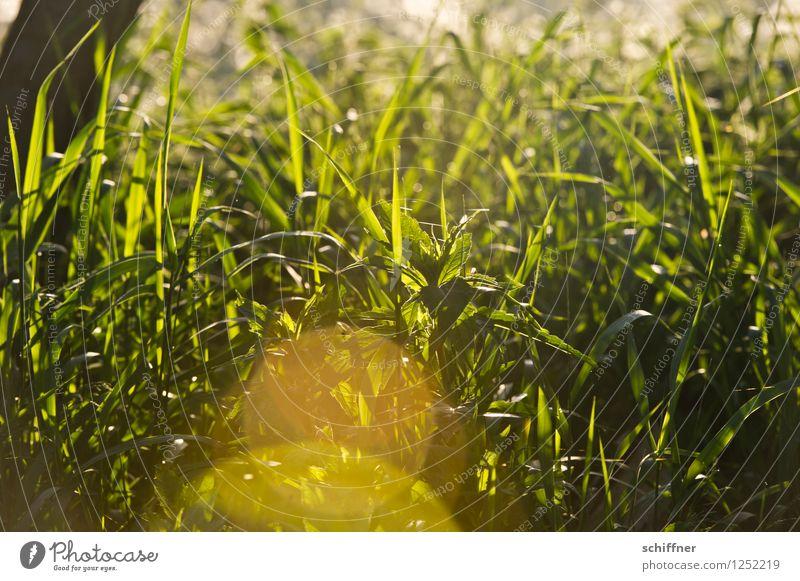 Dieses Gras möchte ich auch mal... Umwelt Natur Pflanze Sonnenaufgang Sonnenuntergang Sonnenlicht Schönes Wetter Grünpflanze gelb gold grün