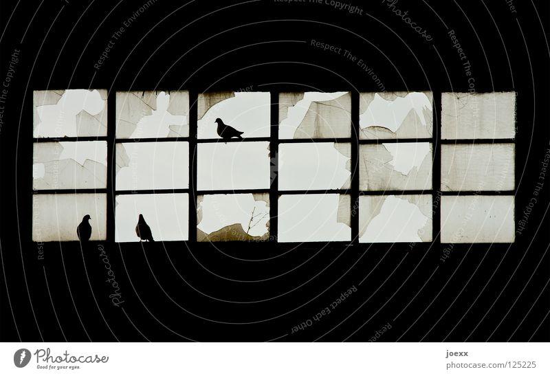 Durchgehend geöffnet Fenster Fensterscheibe Fensterrahmen gebrochen Glasscheibe Fabrikhalle kaputt Scherbe Leitersprosse Taube Taubenschlag Treffpunkt verfallen