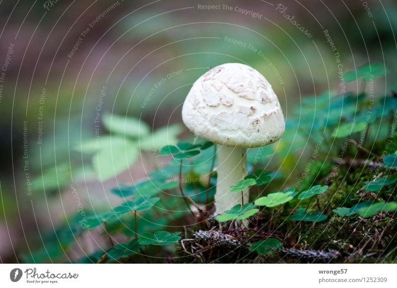 Glückspilz Natur Pflanze Erde Klee Wald Harz klein natürlich braun grün weiß Pilz Waldboden Kleeblatt Mittelgebirge Farbfoto Gedeckte Farben Außenaufnahme