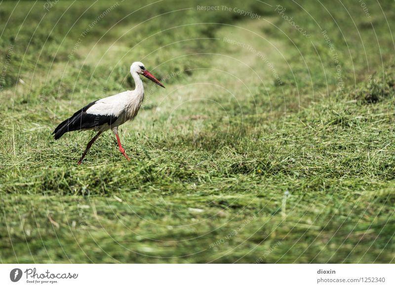 Storch im Salat Umwelt Natur Pflanze Tier Gras Wiese Wildtier Vogel Weißstorch 1 natürlich stolzieren schreiten Farbfoto Außenaufnahme Menschenleer Tag