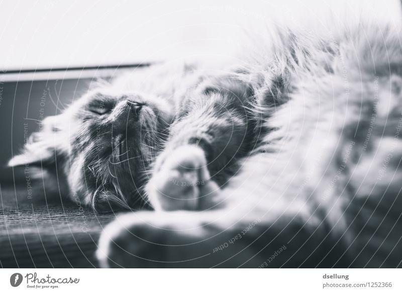 Runde schillen? Haustier Katze 1 Tier Erholung genießen liegen schlafen träumen schön kuschlig niedlich Wärme weich Zufriedenheit Geborgenheit Gelassenheit