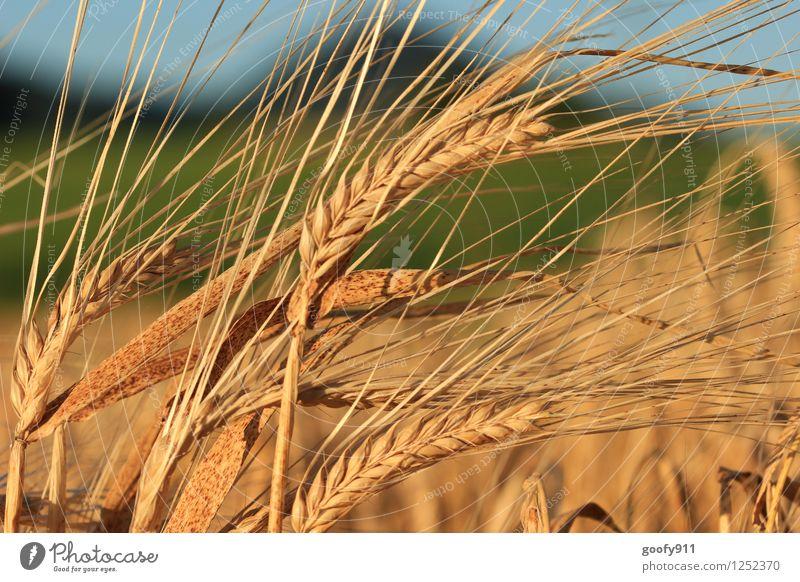 Country Natur Landschaft Dürre Feld gelb gold Trägheit Farbfoto Außenaufnahme Tag Licht Starke Tiefenschärfe Zentralperspektive
