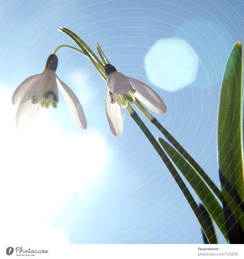 Sonnenglöckchen Blume Blüte Frühling Schnee aufwachen aufstehen Auferstehung Schneeglöckchen