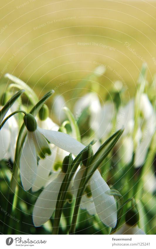 Schneeglöckchen, Weißröckchen... Frühling Blume Blüte aufwachen aufstehen Auferstehung