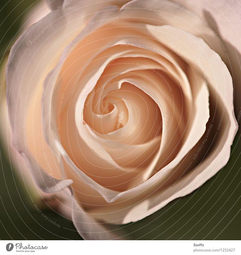 Rosenherz Valentinstag Muttertag Geburtstag Natur Sommer Pflanze Blume Blüte Duft schön rosa Romantik einzigartig Spirale zart Außenaufnahme Nahaufnahme