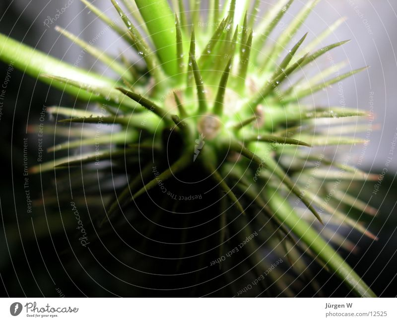 Pflanzenmonster Natur grün Pflanze Palme Stachel Torun