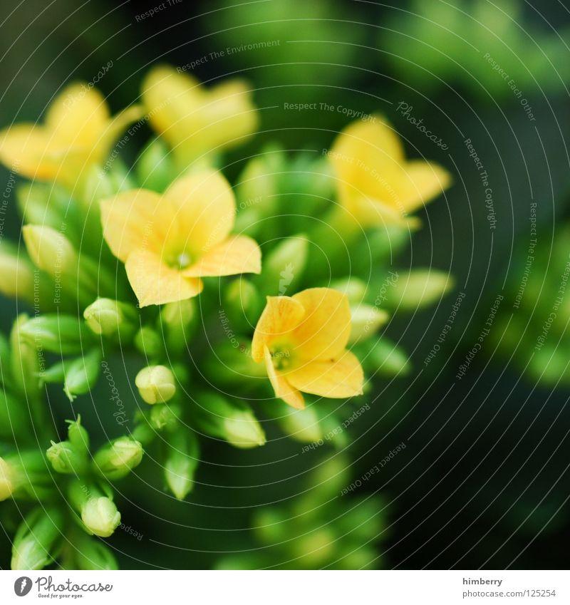 gelbgrüne geschichten Blume Blüte weiß Blütenblatt Botanik Sommer Frühling frisch Wachstum Pflanze rot Hintergrundbild Makroaufnahme Nahaufnahme flower