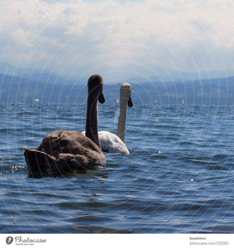 auf zum anderen Ufer Schwan weiß schwarz See Wellen Wolken 2 Vogel Wasser Bodensee blau Himmel Berge u. Gebirge Bergsicht Im Wasser treiben Schwimmen & Baden