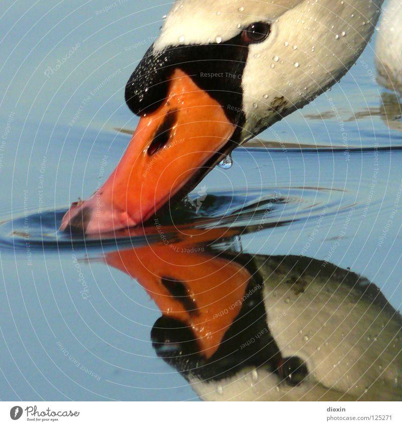 Schwanenspiegel Spiegel trinken Reflexion & Spiegelung Schnabel Vogel Wellen See Teich weiß schwarz Tier eitel Spiegelbild Oberfläche Wasseroberfläche