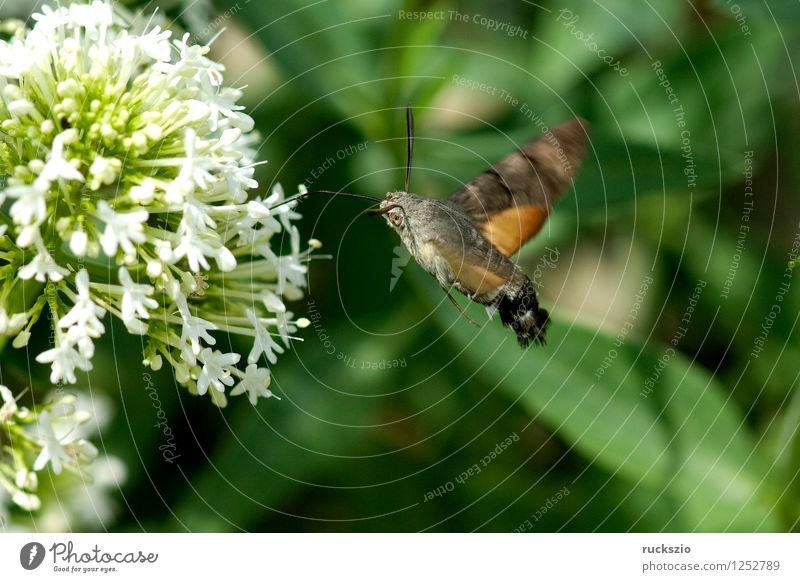 Taubenschwaenzchen; Macroglossum; stellatarum; Schmetterling fliegen Fressen Taubenschwanz Spornblume Spornblumen Centranthus Karpfenschwanz Wanderfalter