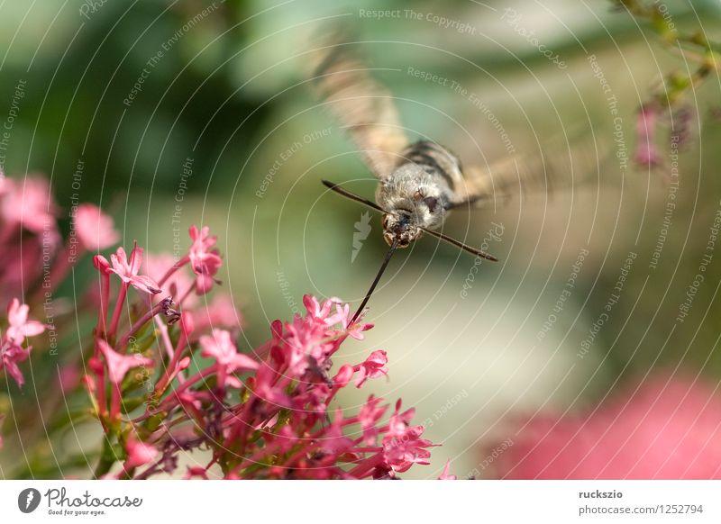 Taubenschwaenzchen; Macroglossum; stellatarum; Schmetterling fliegen Taubenschwanz Spornblume Spornblumen Centranthus Karpfenschwanz Wanderfalter Schwaermer