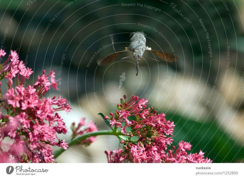 Taubenschwaenzchen; Macroglossum; stellatarum; fliegen Insekt Schmetterling Saugrüssel