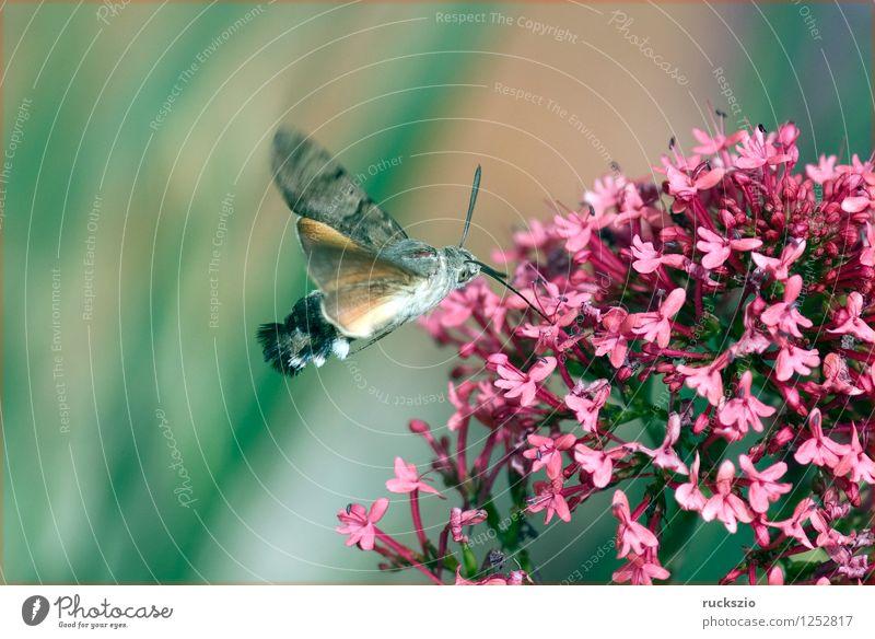 Taubenschwaenzchen; Macroglossum; stellatarum; Wildtier Schmetterling fliegen Fressen Taubenschwanz Spornblume Spornblumen Centranthus Karpfenschwanz