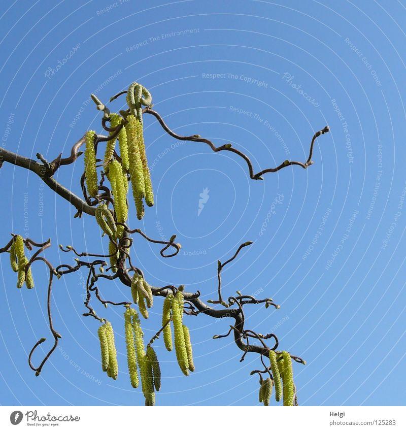 Pollenflug.... Himmel blau grün Baum Pflanze gelb Frühling Blüte Linie braun Zusammensein gefährlich Sträucher Ast Blühend Zweig