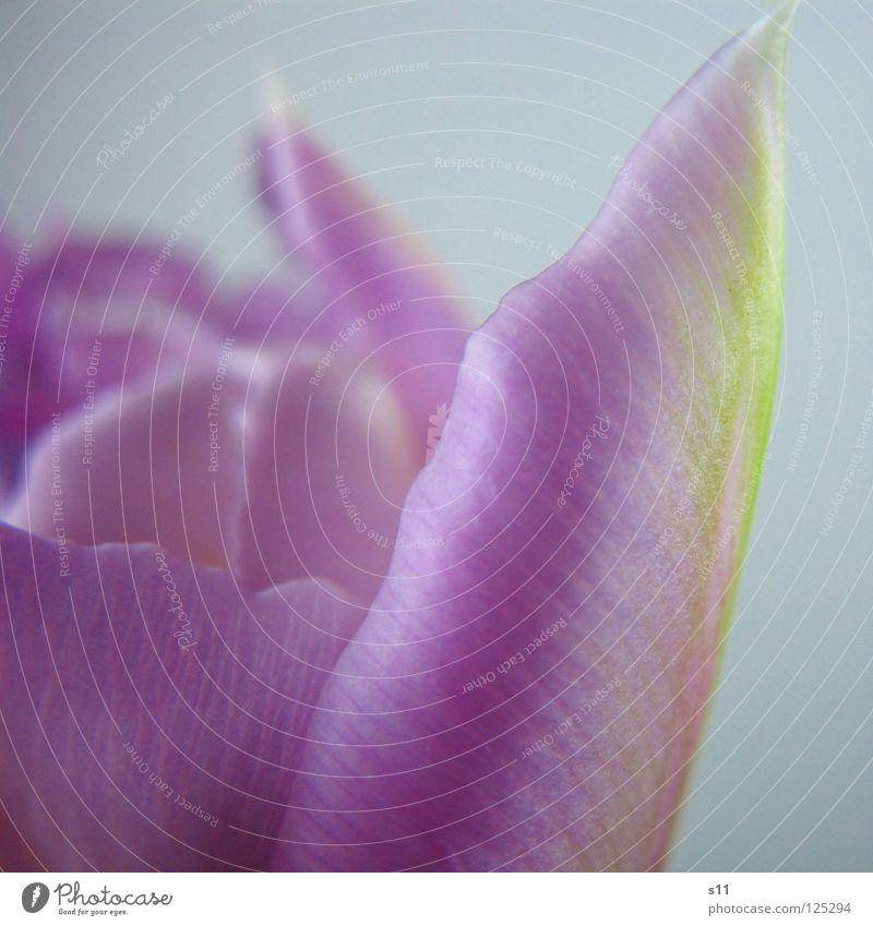 Zartes Detail Natur grün schön Pflanze Blume Frühling Blüte Vergänglichkeit violett zart Tulpe leicht fein Blütenblatt Frühlingsblume