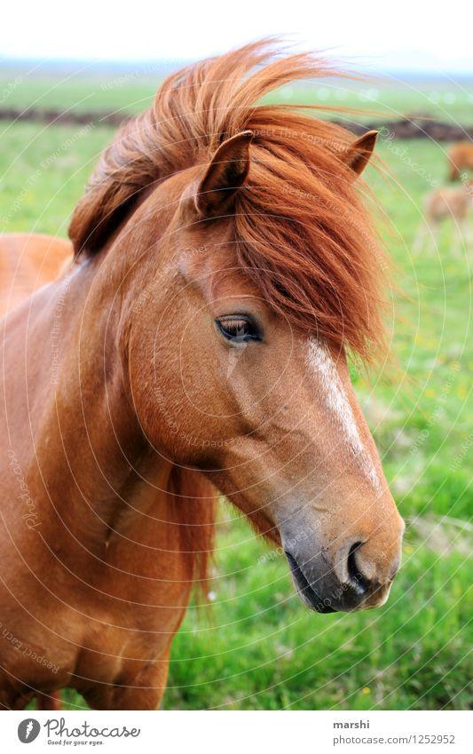 Ponyfrisur Natur Landschaft Tier Wildtier Pferd Tiergesicht 1 Stimmung Island Ponys Mähne schön Reiten Reiterhof Farbfoto Außenaufnahme Detailaufnahme Tag