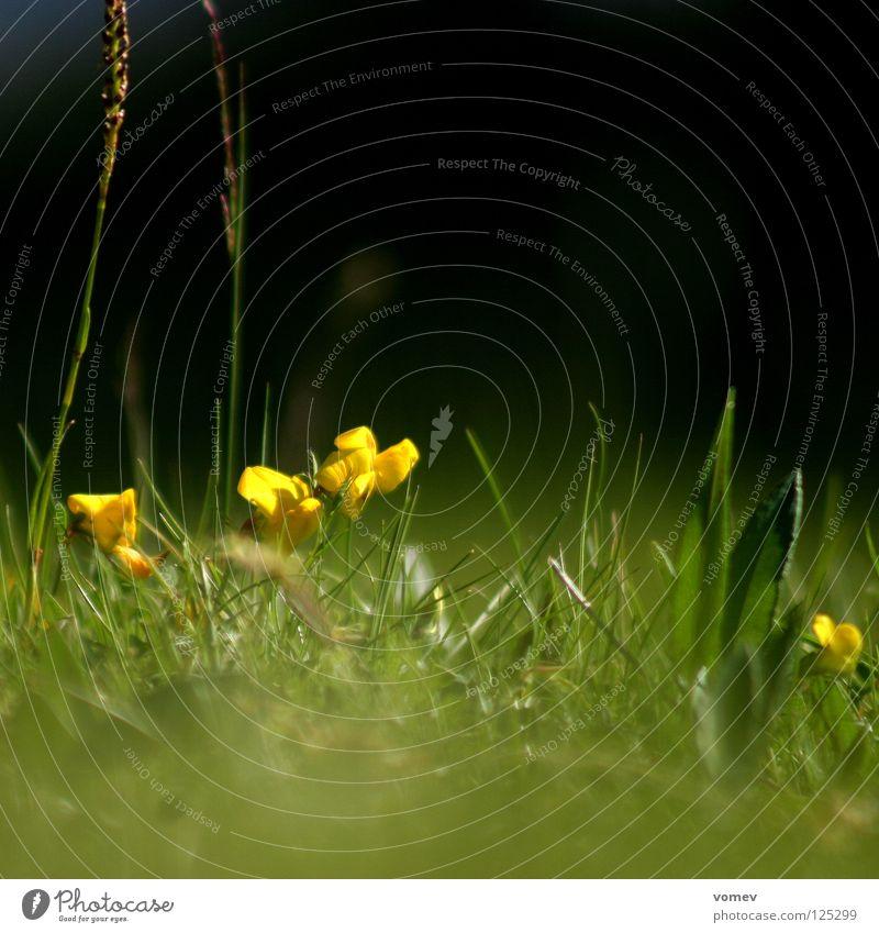 Maulwurf knipst grün ruhig gelb Wiese Blüte Löwenzahn Halm